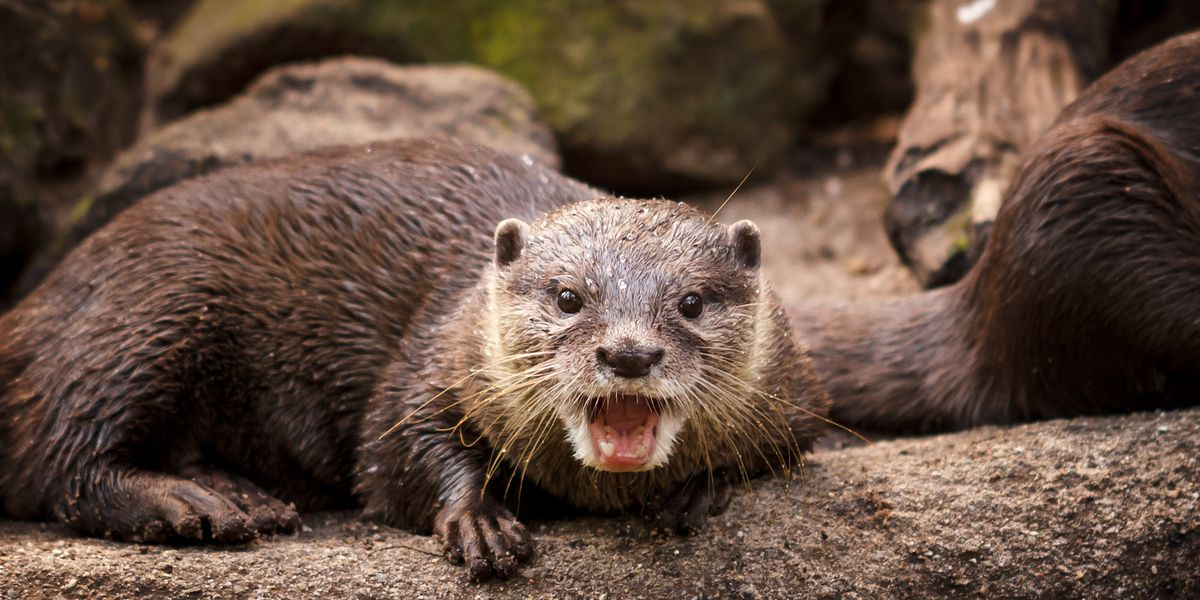 'Otterly' adorable exhibit coming to the aquarium at Fort Fisher