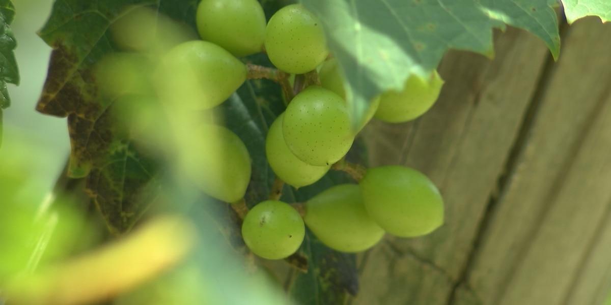More South Carolina farms turning to agritourism to make ends meet