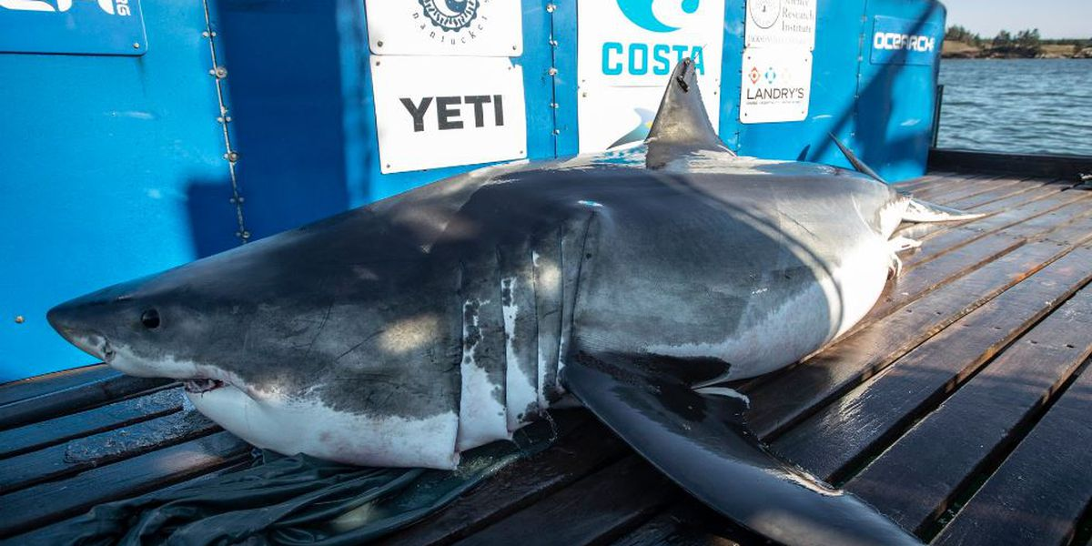 Three white sharks pinged off South Carolina coast