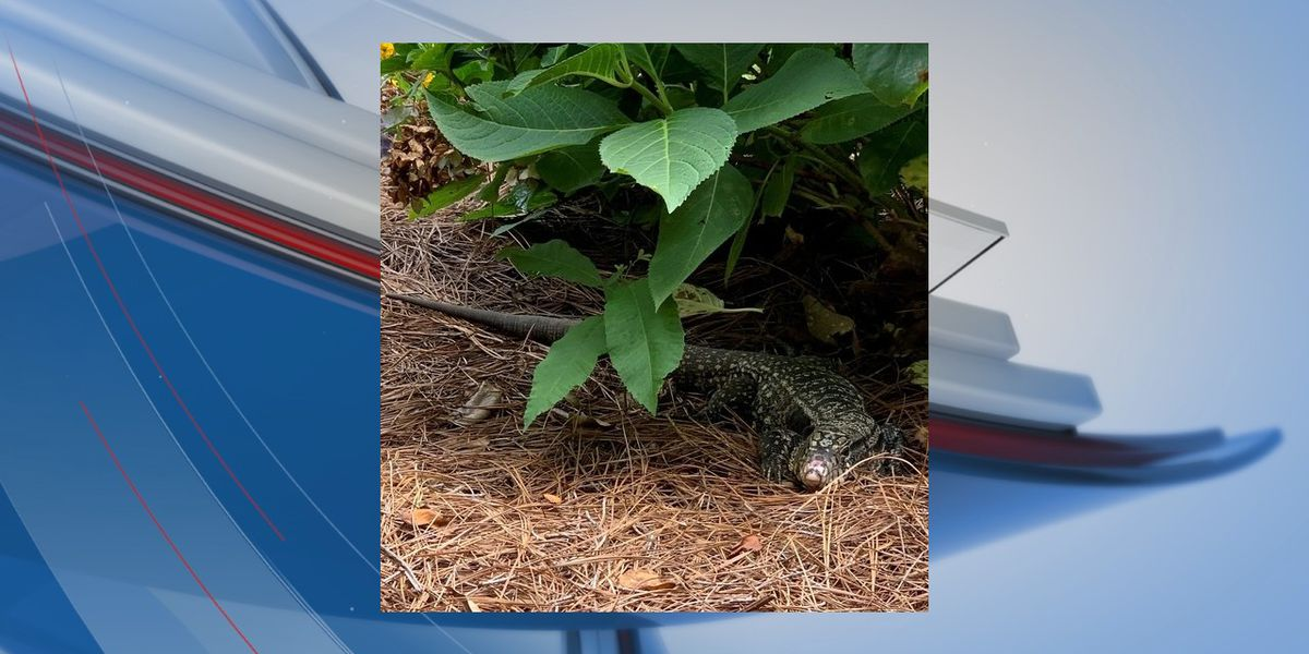 Eight more non-native lizards spotted across S.C.