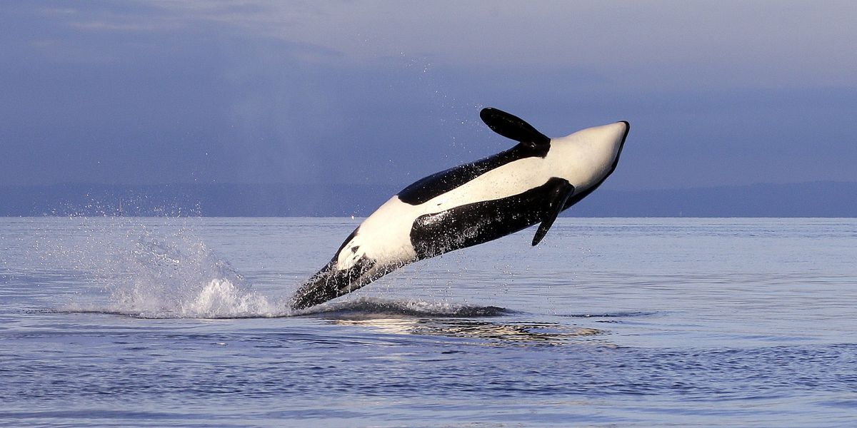 Groups: US must consider how salmon fishing hurts orcas