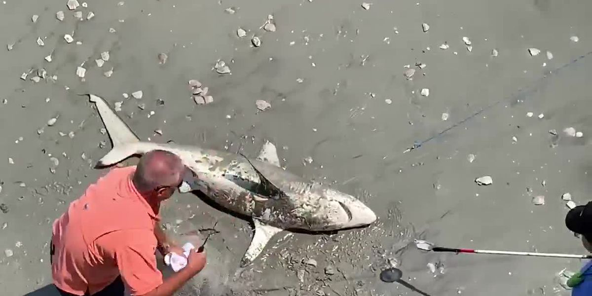 VIDEO: Myrtle Beach pier manager rescues shark caught in fishing net