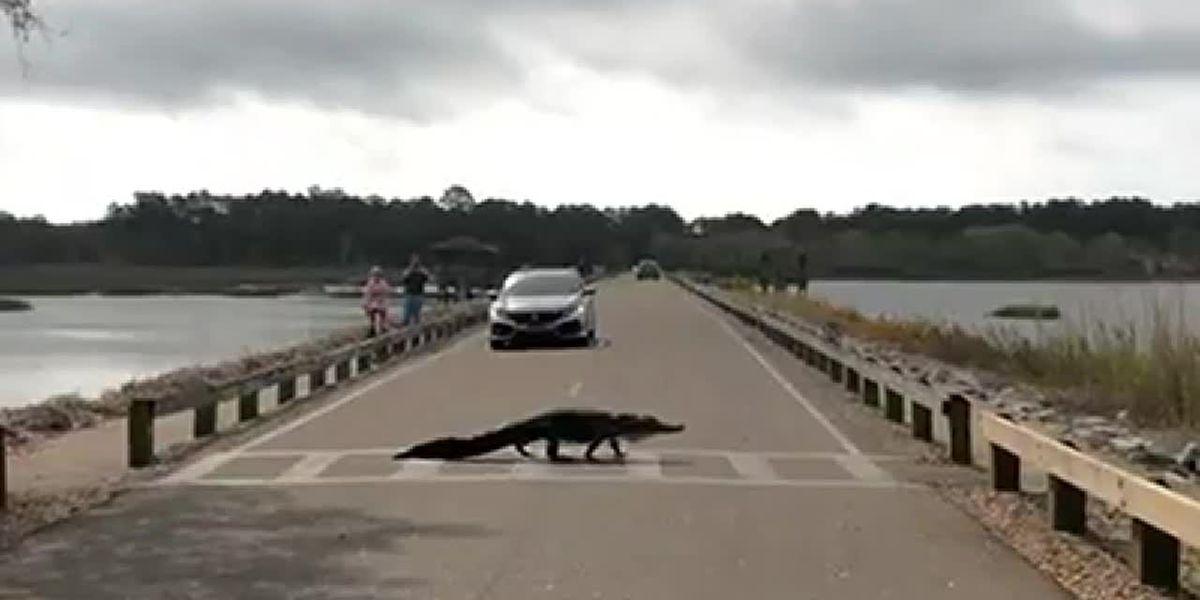 Gator crossing: Alligator uses crosswalk at state park in SC