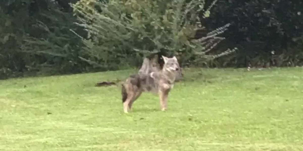 Coyote sighting reported on Myrtle Beach elementary school campus