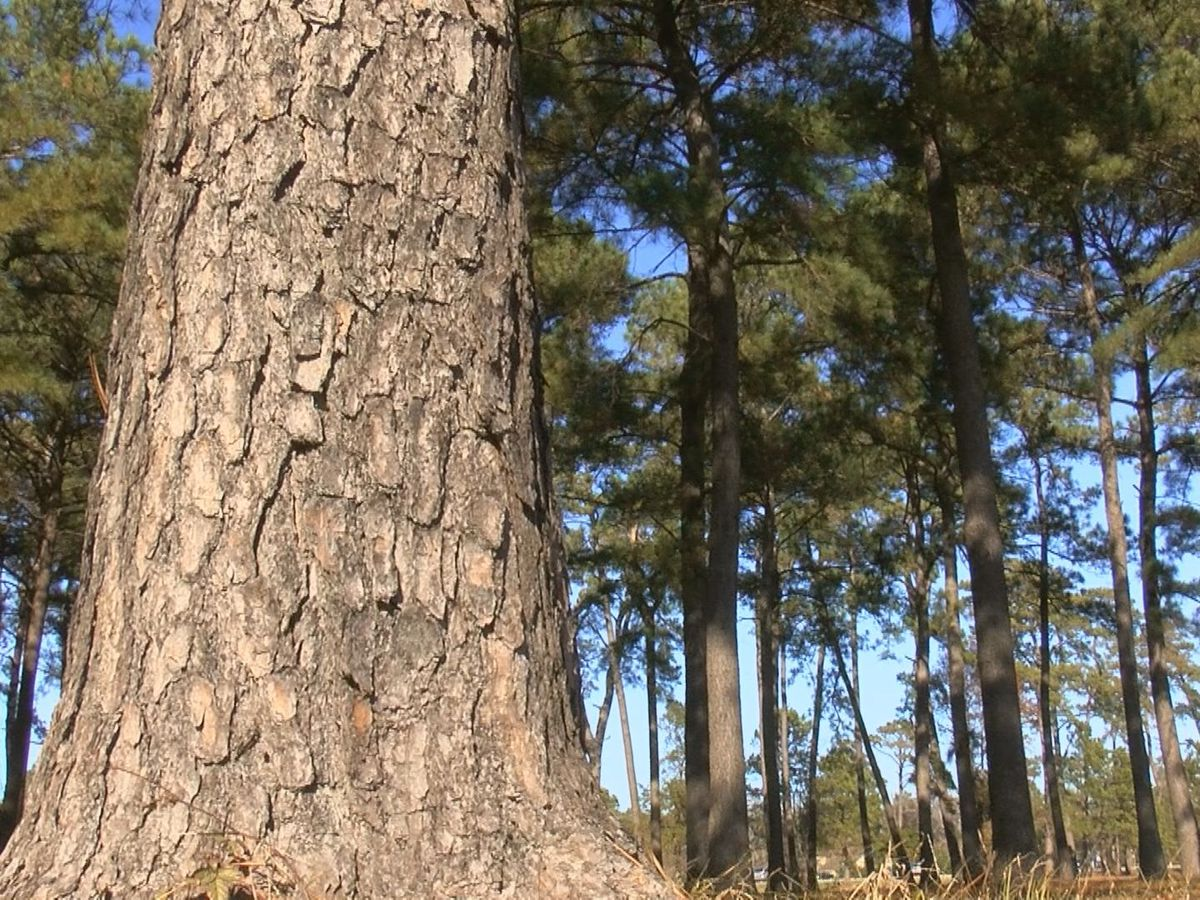It's Your Money: Myrtle Beach paid more than $100,000 for tree maintenance in 2018