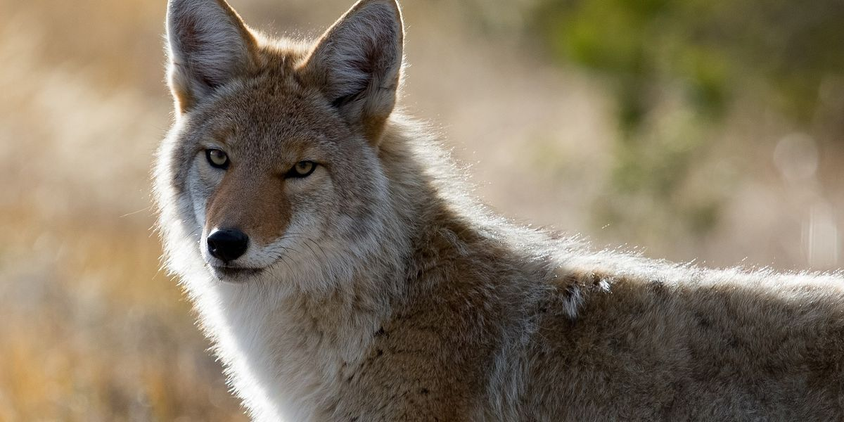 Myrtle Beach gov't teaming up with SCDNR to host coyote forum