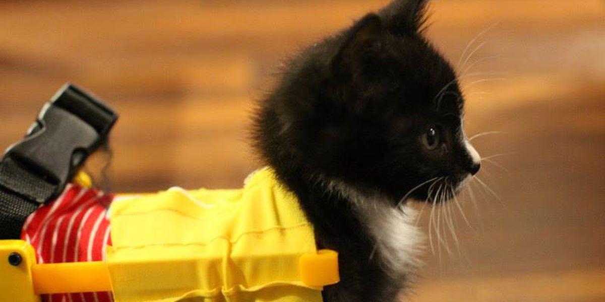 Paralyzed, wheelchair-clad kitten Tiny Tim to undergo surgery in March