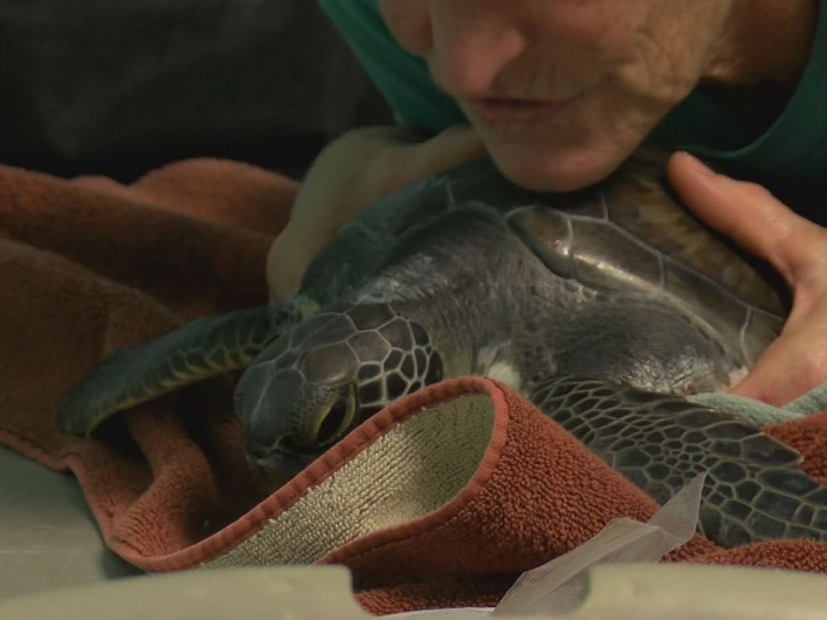 47 cold stunned sea turtles admitted to Topsail rehabilitation facility
