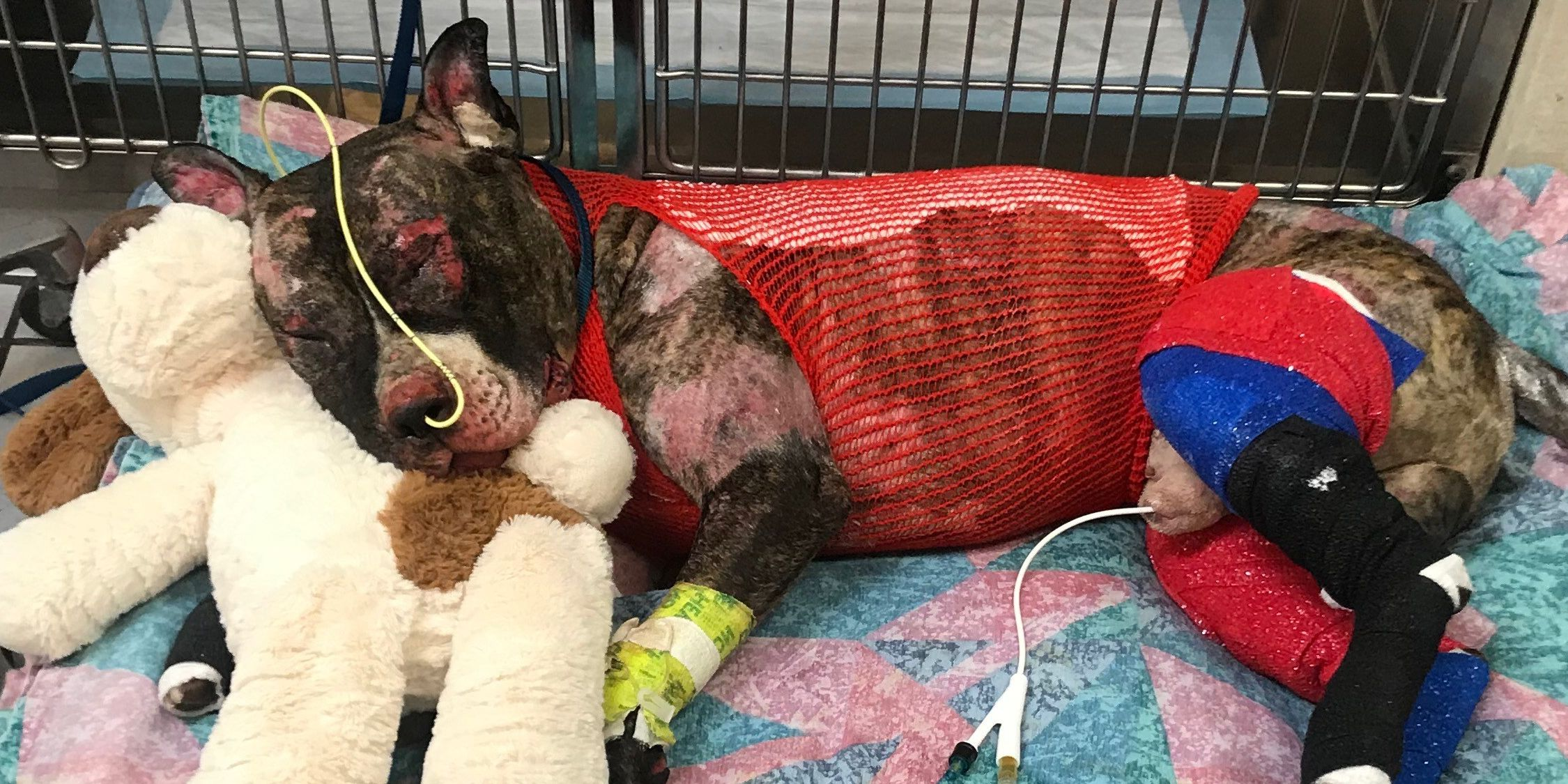 Burned dog Tommie dies a day after taking steps