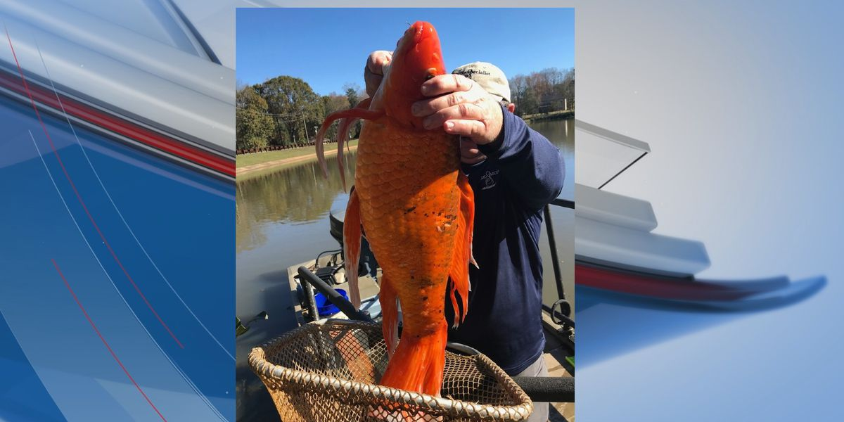 9-pound goldfish found swimming in S.C. lake, officials say