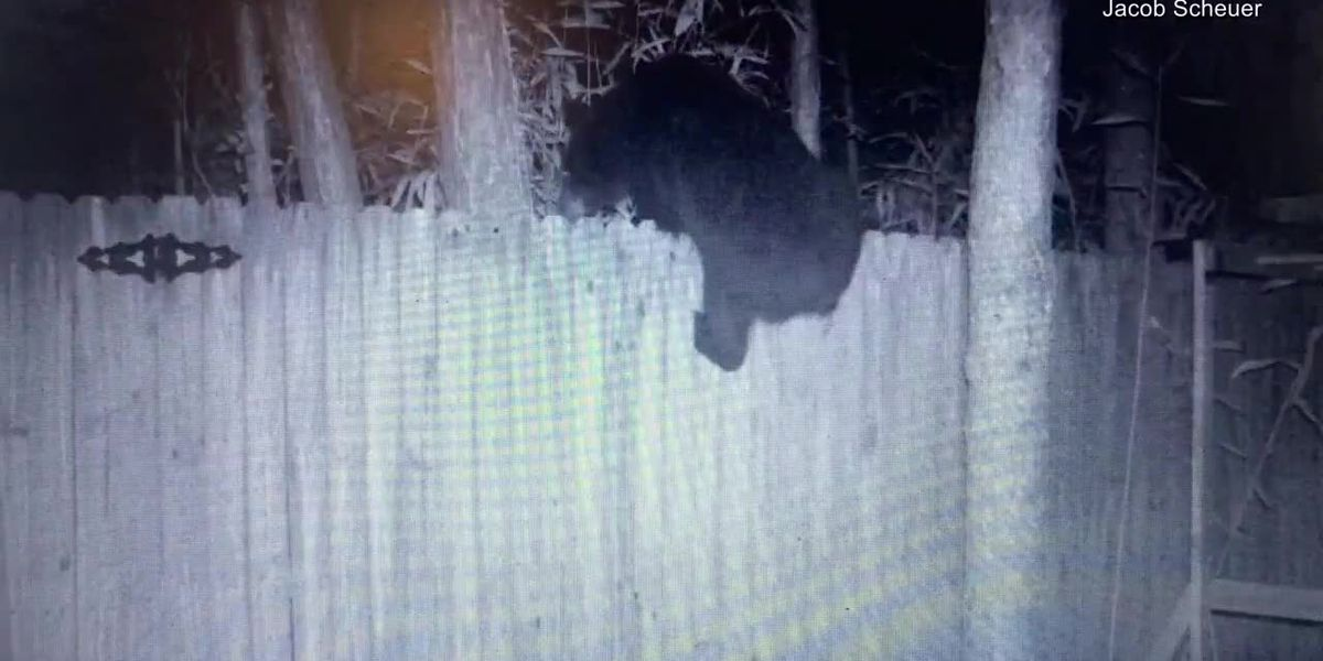 'We don't mind it': Carolina Forest neighborhood sees uptick in bear sightings