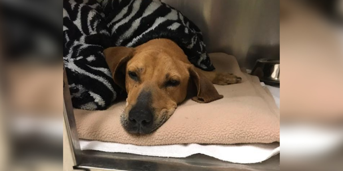 Emaciated dog found in Myrtle Beach; hospital asking for donations