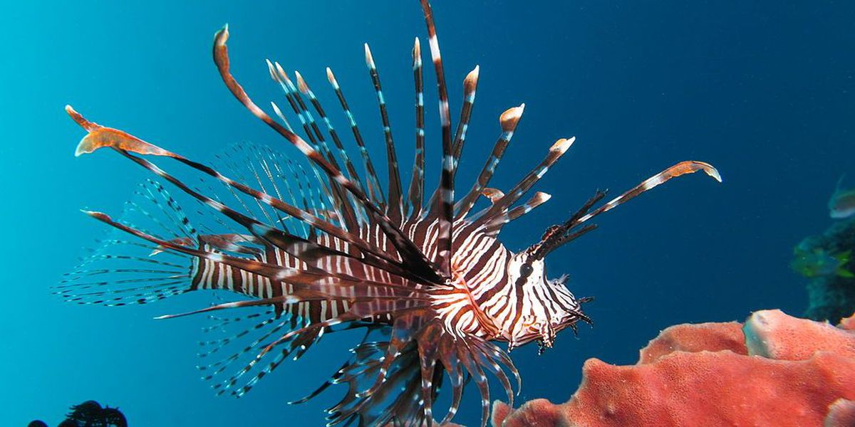Person stung by lionfish off SC coast, USCG confirms