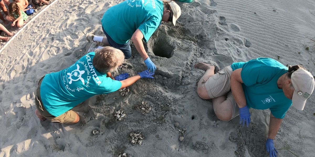 More sea turtle nests being found along the Grand Strand