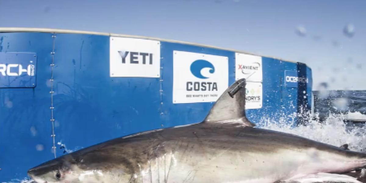 Great white shark Hilton pinged around Myrtle Beach coast