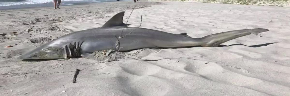Beachgoers find shark washed ashore in Briarcliffe Acres
