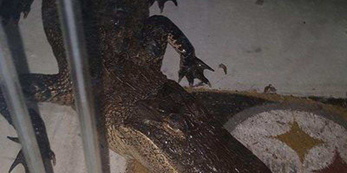 Alligator shows up unannounced at South Carolina woman's home