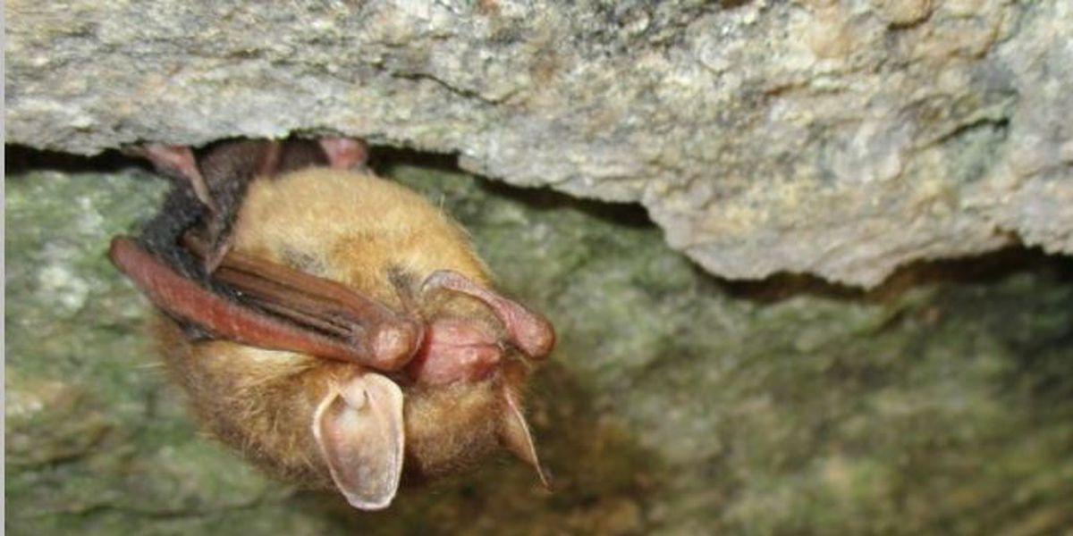 SCDNR to survey, test S.C. caves and mines for deadly bat disease