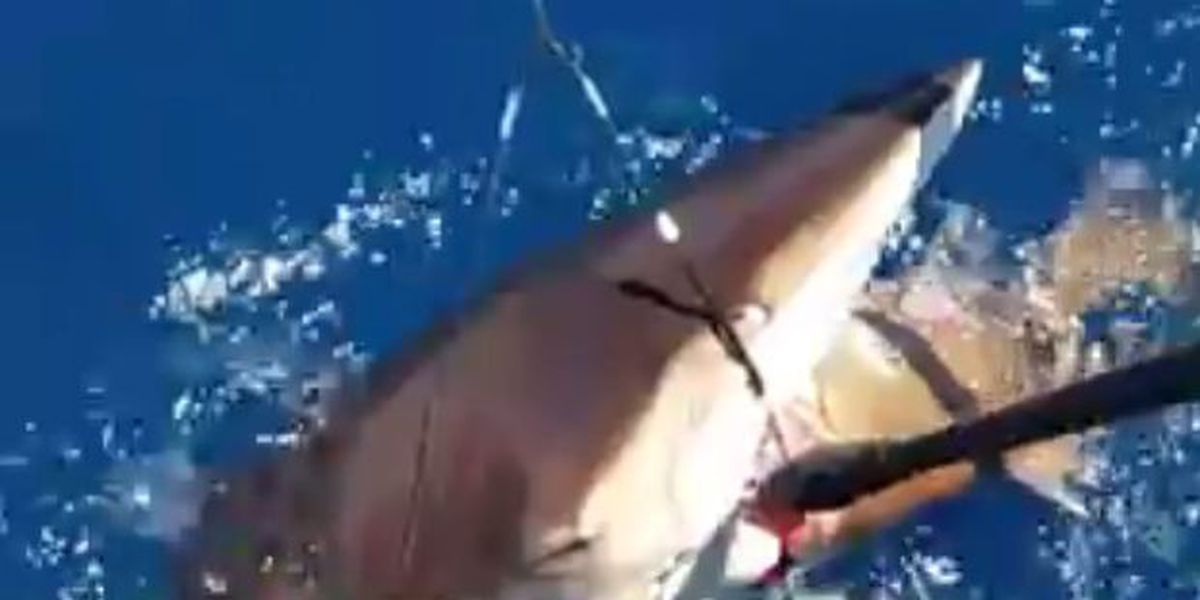 VIDEO: Tenacious anglers pry grouper from shark's mouth