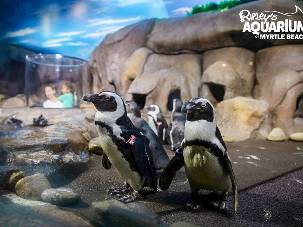 'Penguin Playhouse' opens at Ripley's Aquarium of Myrtle Beach