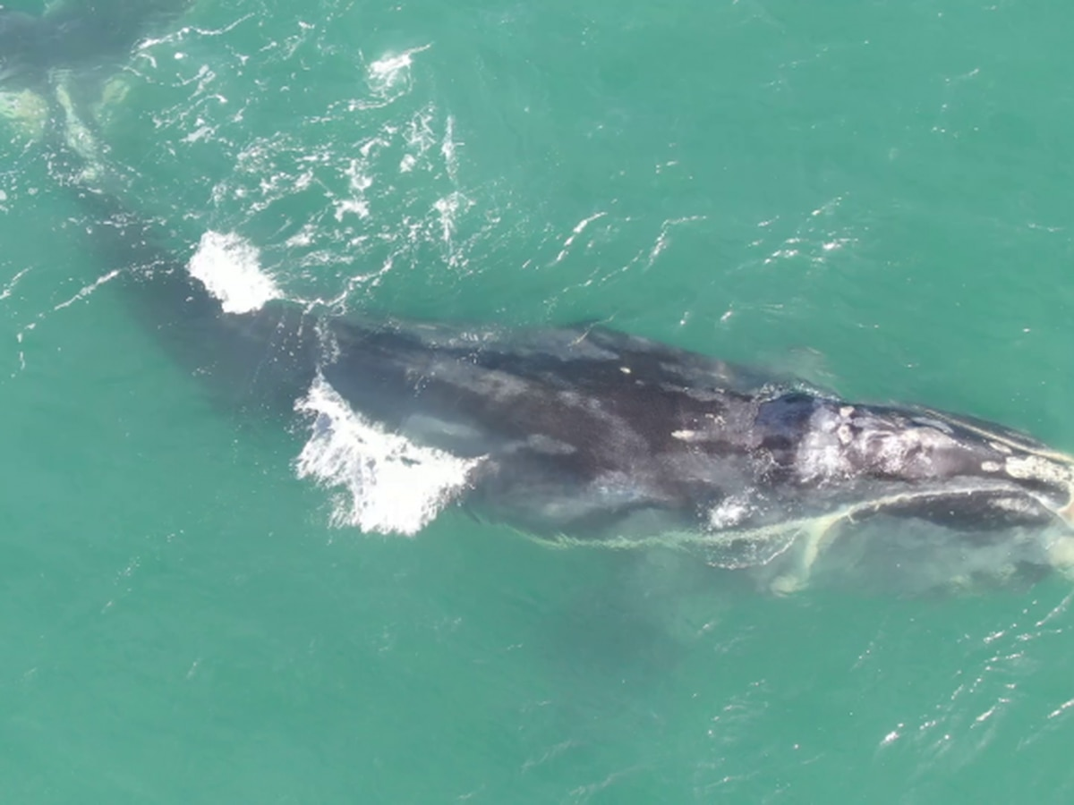 "Critically endangered North Atlantic right whale named ""Cottontail"" found dead off South Carolina coast"
