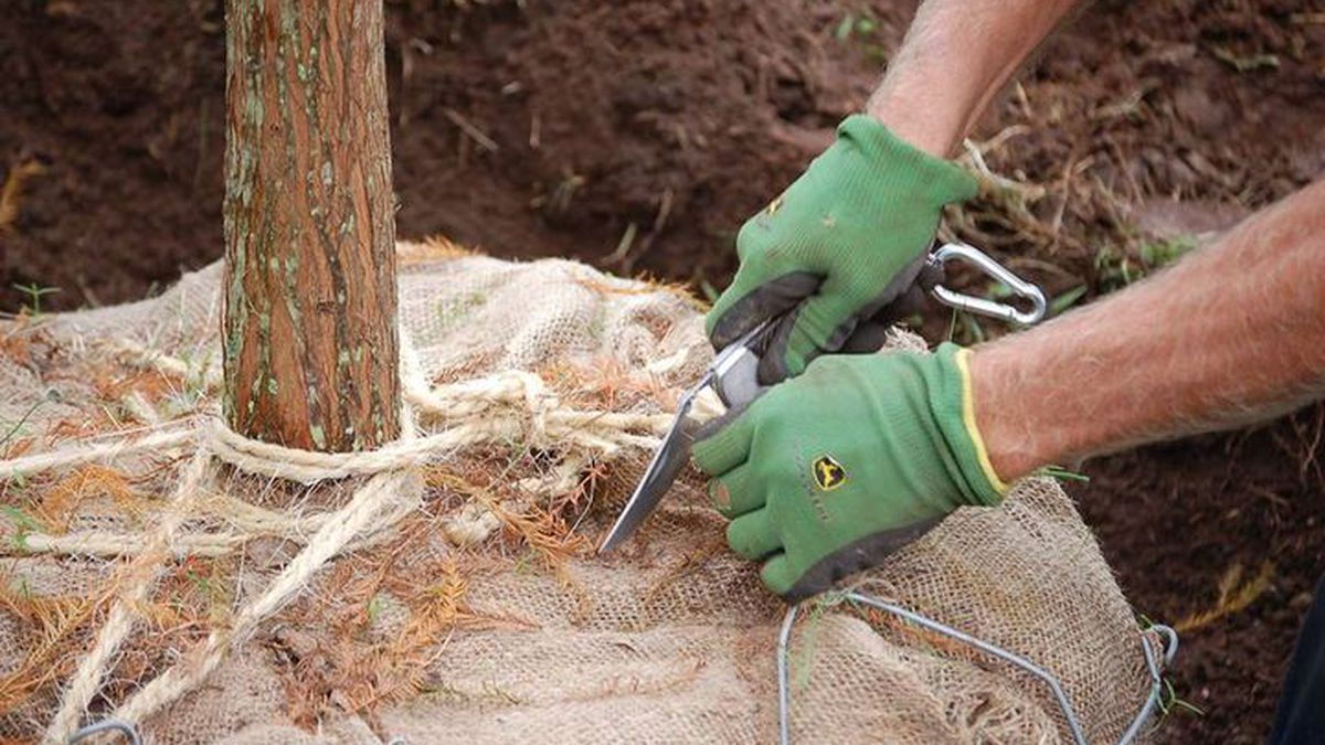 Myrtle Beach staff to plant dozens of trees in downtown area