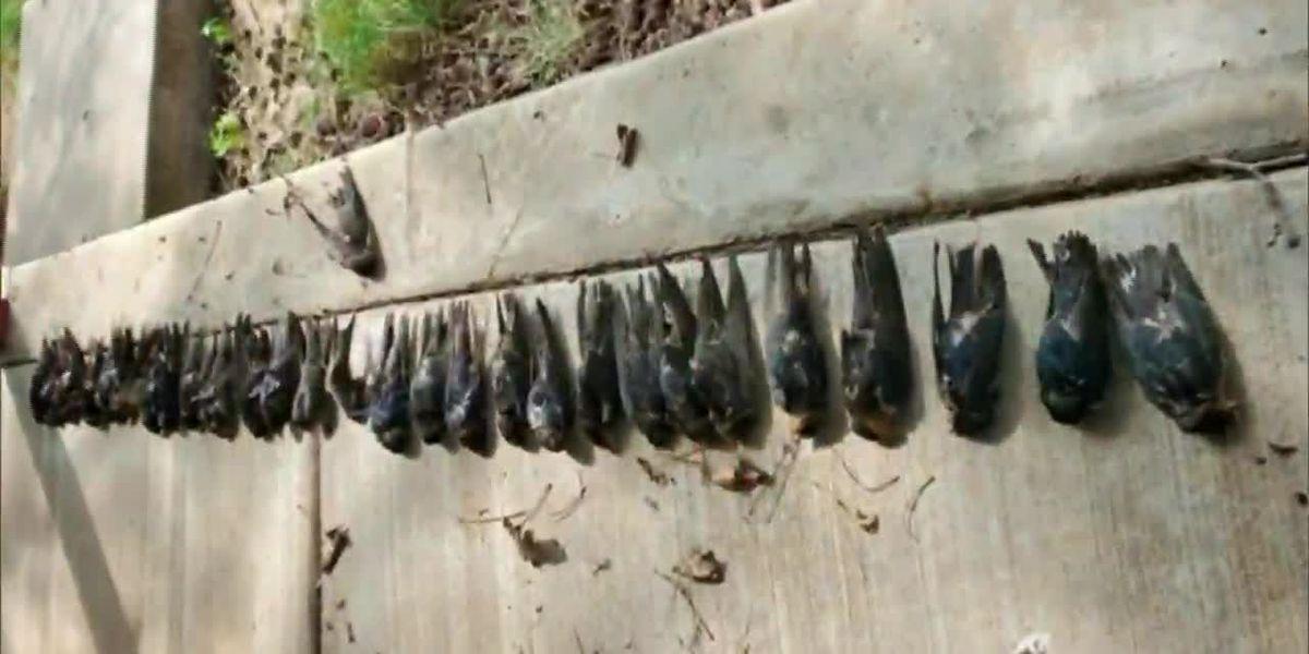 Massive migratory bird die-off in Colorado blamed on smoke, snow