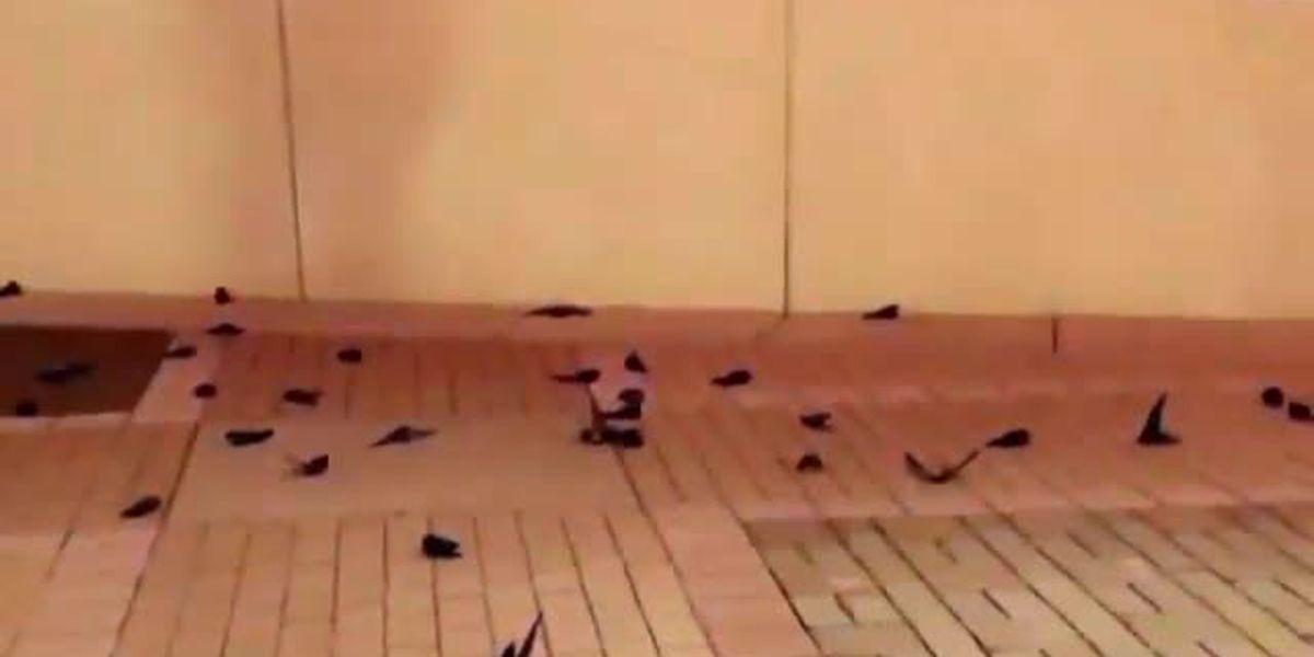 Hundreds of birds dead after crashing into NASCAR Hall of Fame