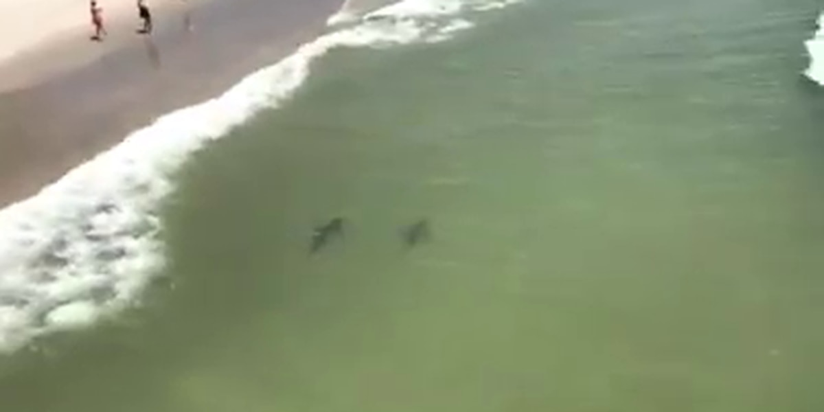 Viral video shows sharks swimming just feet from Garden City beach
