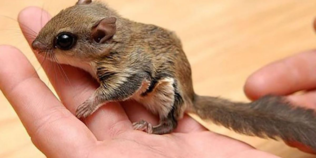 7 charged in elaborate flying squirrel trafficking ring, Fla. officials say