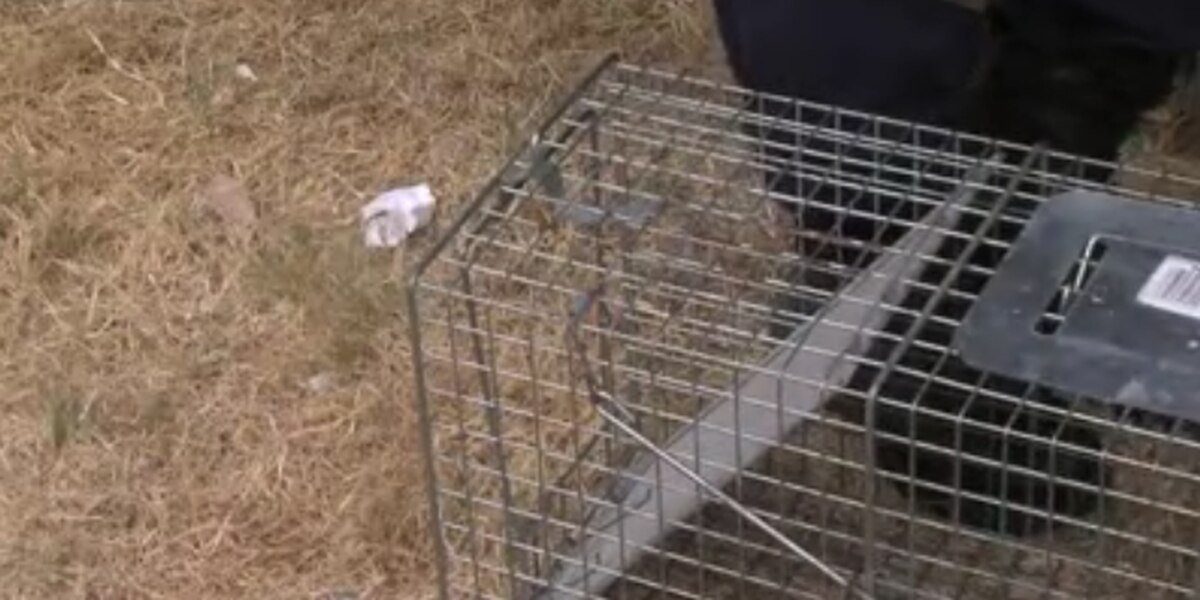 Coyotes cause concern in Grand Strand