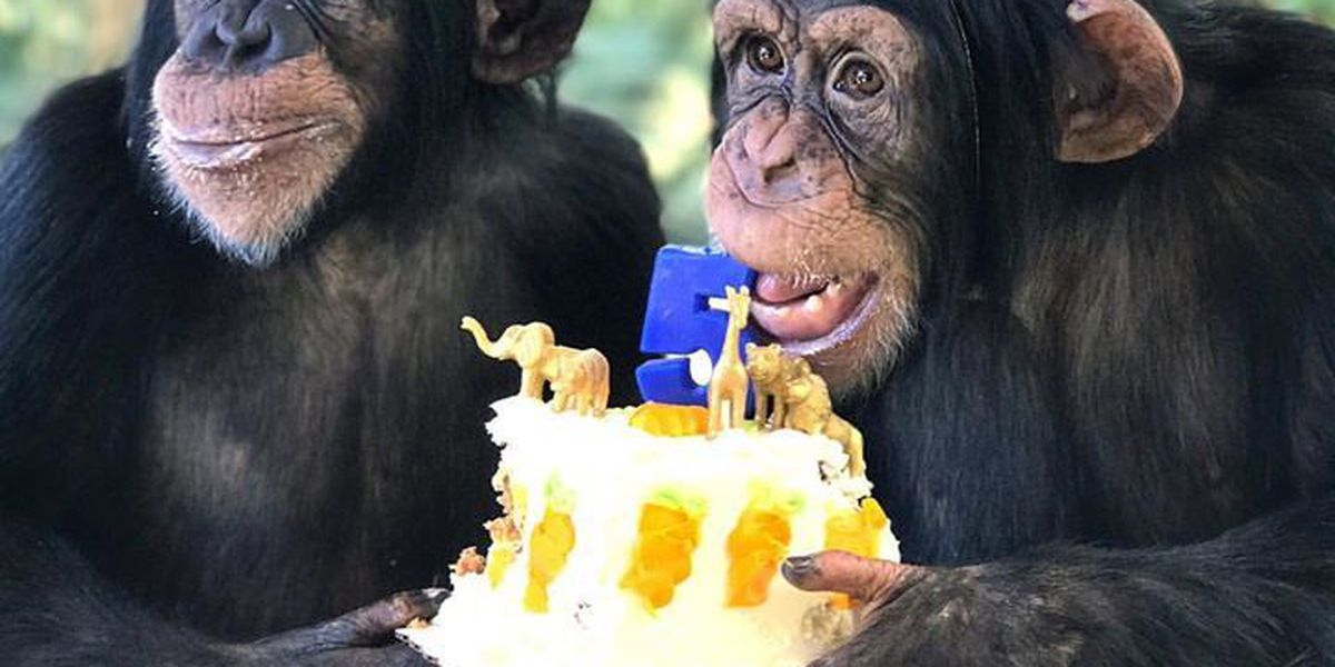VIDEO: Sugriva the chimp celebrates 5th birthday in style