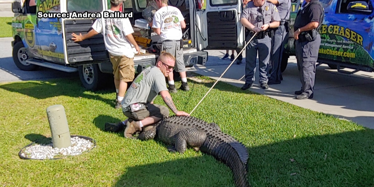 Neighbors, homeowners react to 10-foot gator found in Murrells Inlet yard